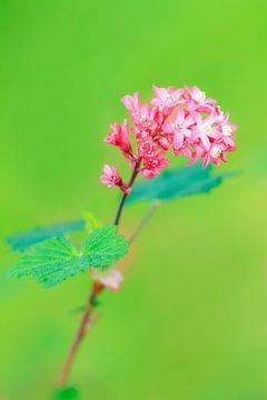 Plant met roze bloemetjes von Dennis van de Water
