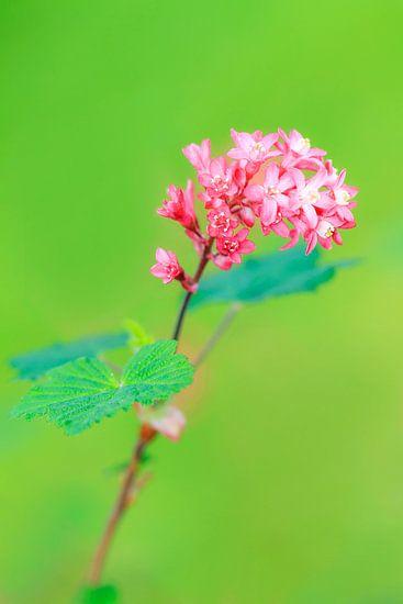 Plant met roze bloemetjes