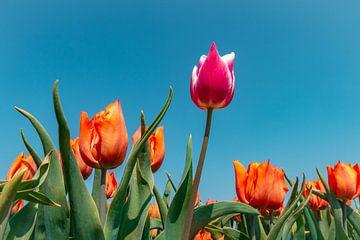 Mach wie eine Tulpe und werde verrückt! von Arisca van 't Hof