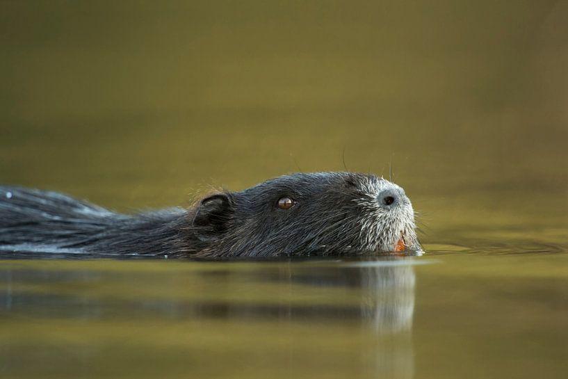 Coypu / River Rat / Nutria ( Myocastor coypus ) swims close by through nice coloured water, close up van wunderbare Erde