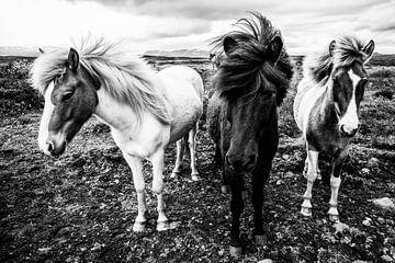 Chevaux islandais sur Daniela Beyer