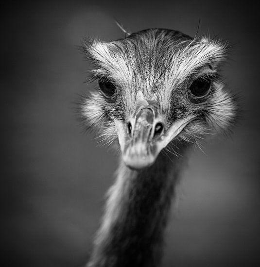 Emoe in zwart-wit