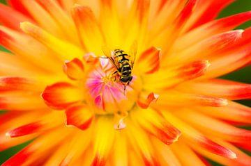 Schwebfliege auf farbenfroher Blume von Alvin Aarnoutse
