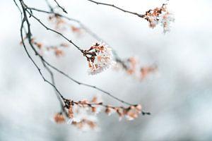Winter bloesem