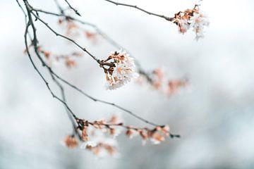 Winter bloesem van Patrick Verheij