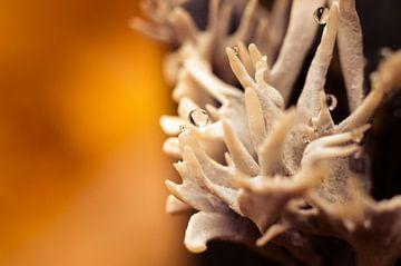 Mushroom 10 sur Desh amer