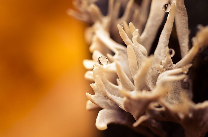 Mushroom 10 van Desh amer