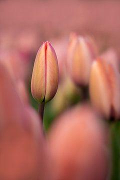 Eine schmale rosa Tulpe zwischen anderen rosa Tulpen von 7.2 Photography