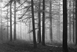 Bos van Lariks bomen in zwart-wit