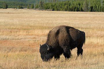 Bison in Yellowstone NP von René Roelofsen