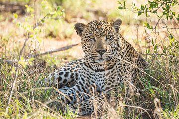 Groot luipaard ligt relaxed onder een struik van Simone Janssen