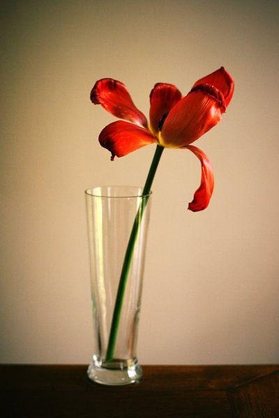 Tulp van Paolo Gant