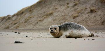 Seehund auf Texel von Ronald Timmer