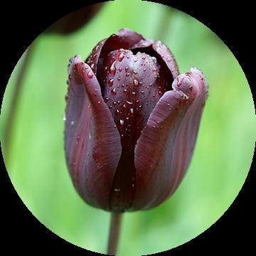 Zwarte tulp ('Continental') van Peet Romijn