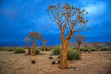 Kokerbomen in de Kalahari woestijn, Namibië van Rietje Bulthuis