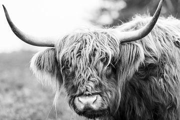 Portret van een Schotse Hooglander in zwart wit van