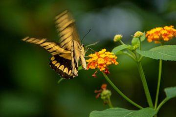 Voltigeant de fleur en fleur