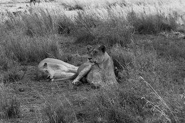 Ruhende Löwinnen von Laura Koppen