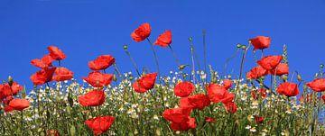 Mohnblumenwiese mit Kamillenblüten von Susanne Bauernfeind