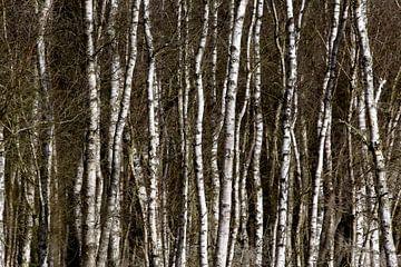 Birkenwald von Anette Jäger