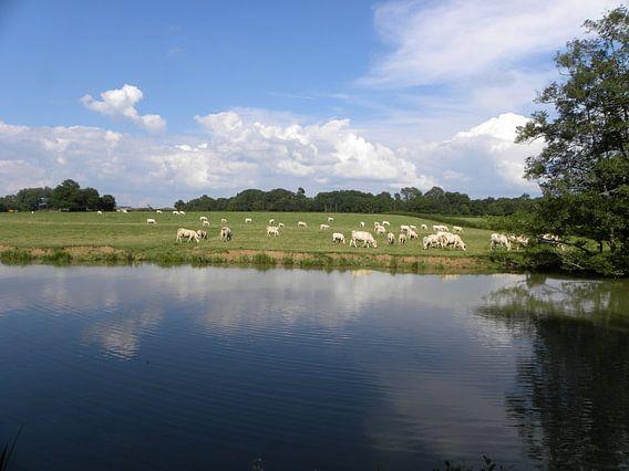 Charolais koeien van Henk Rabbers