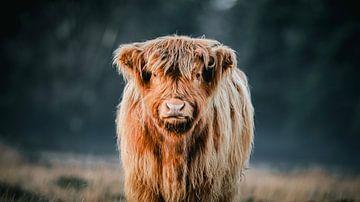 Schottischer Highlander von AciPhotography