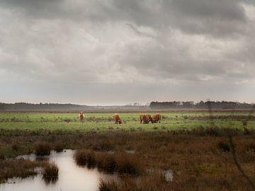 Drents landschap met Schotse Hooglanders van Maarten Visser