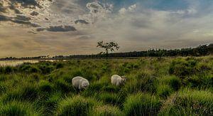 schapen op de heide bij zonsondergang