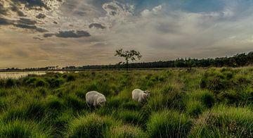 schapen op de heide bij zonsondergang von Edwin Hoek