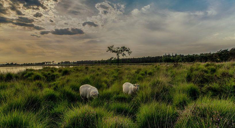 schapen op de heide bij zonsondergang van Edwin Hoek