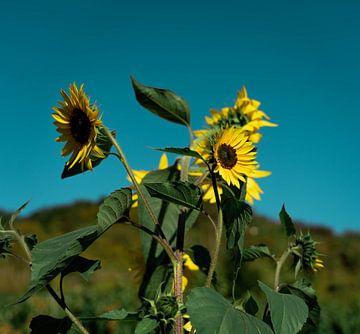 Sonnenblume in Deutschland von Marjon Boerman
