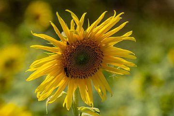 Sonnenblume von Johnny Flash