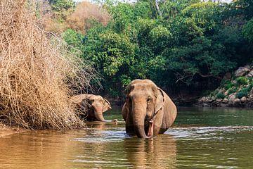 Thailändische Elefanten, die in der Natur frei herumlaufen von Micle de Greef