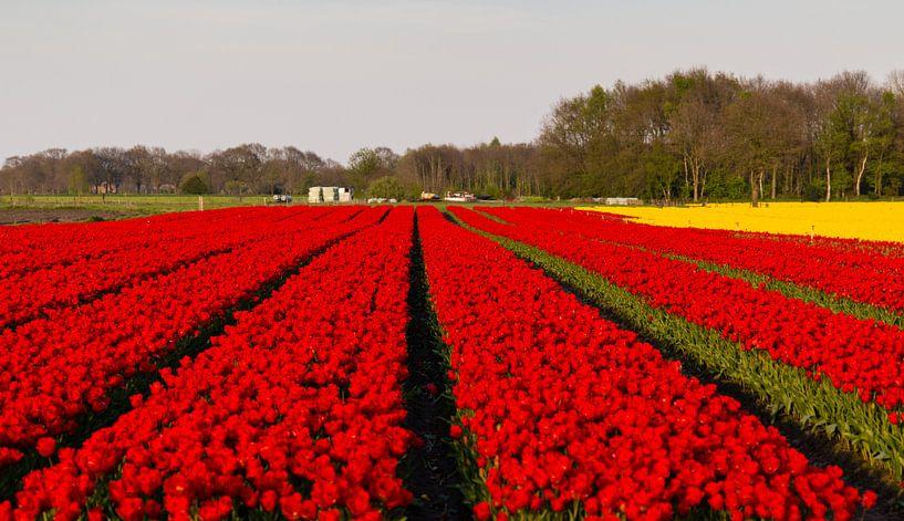 Tulpenvelden in Drenthe van Arline Photography