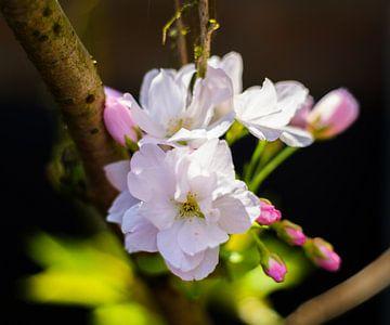 Japanse kers met knoppen van Joke Beers-Blom