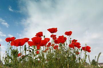Een groep bloeiende rode klaprozen von Henk van den Brink