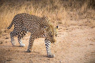 Leopard sur