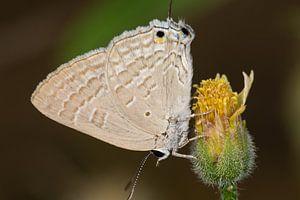 Vlinder (Deudorix antalus) op een bloem van
