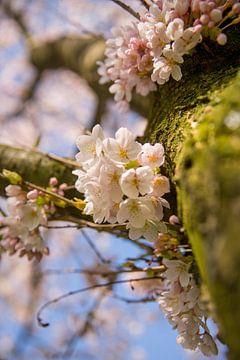 Een boomstam met kersenbloesem van Erik de Rijk