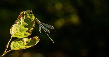 Dragonfly at the sunlight von Nicole Nagtegaal