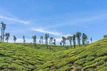 Teeplantage in Indien von Joost Potma