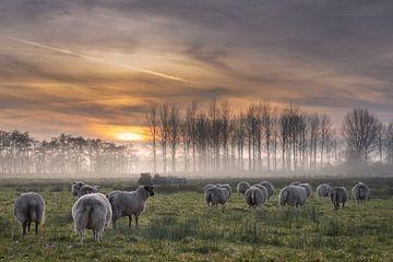 entlaufene Schafherde mit untergehender Sonne von Miranda Heemskerk