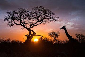 Giraffe im Sonnenuntergang von Thomas Froemmel