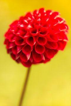 Rote Dahlie Blume von Tot Kijk Fotografie: natuur aan de muur