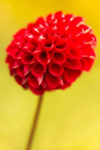 Rode dahlia bloem