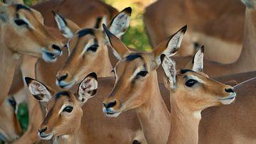Impala knoeien in Chobe Nationaal Park van Timon Schneider