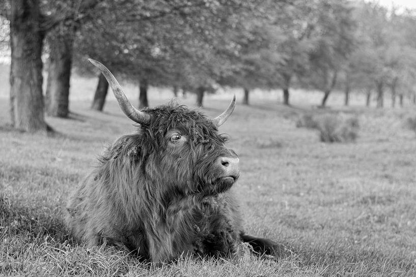 Imposante Schotse Hooglander van Charlene van Koesveld