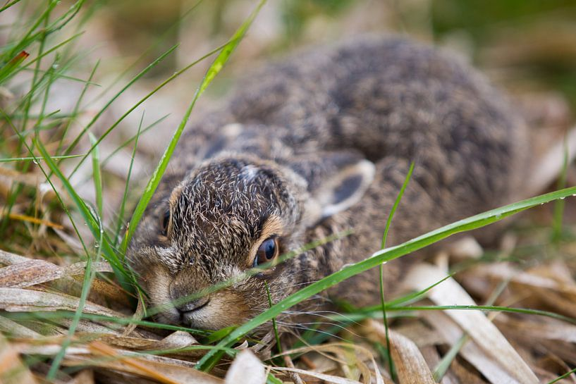 Wild baby konijntje in het gras van Dexter Reijsmeijer