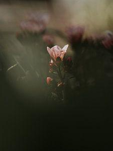 Rosa Blume von José Lugtenberg