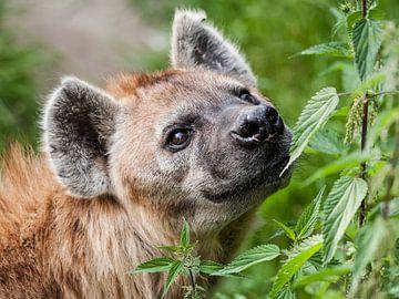 Gevlekte Hyena : DIergaarde Blijdorp van Loek Lobel